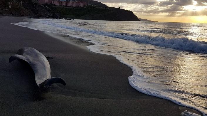 Delfín encontrado este jueves en la playa de Calabajío.