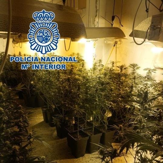 Plantación de marihuana descubierta.