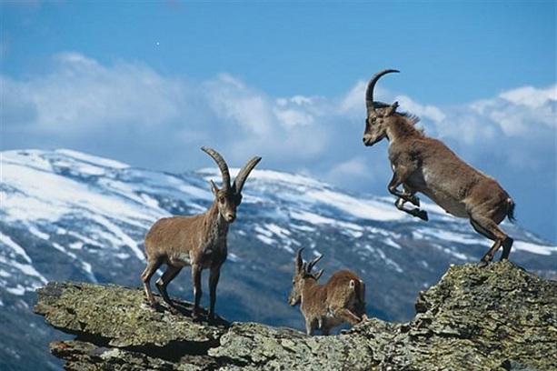 Cabras monteses en Sierra Nevada.