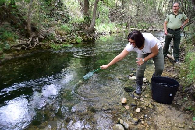Suelta de alevines de trucha en el río.