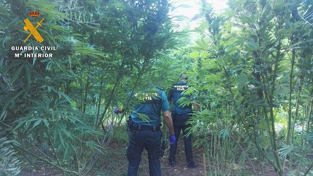 Una de las plantaciones halladas en agosto, en Cogollos Vega.