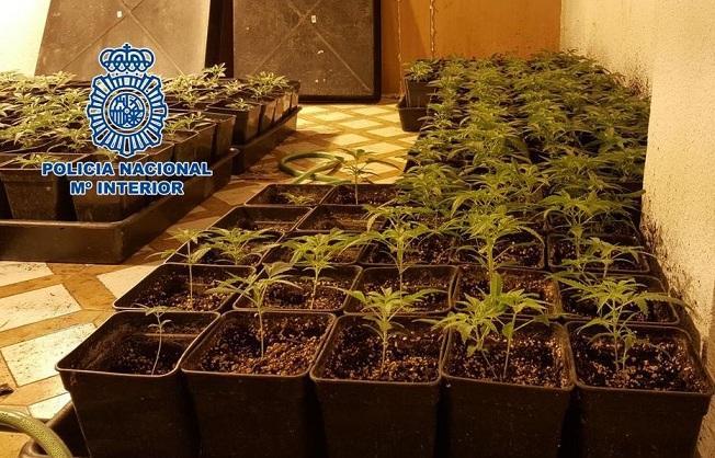 Plantas de marihuana requisadas.