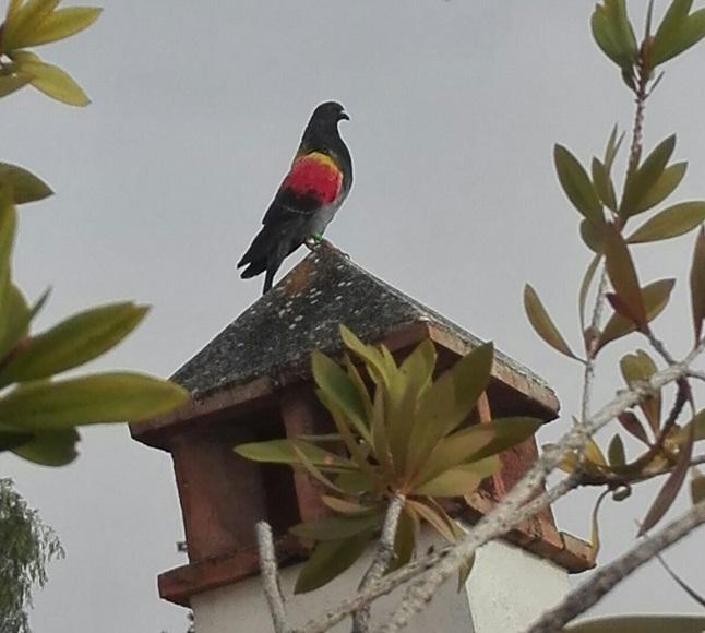 Paloma de colores posada en una chimenea de una casa del Albaicín.