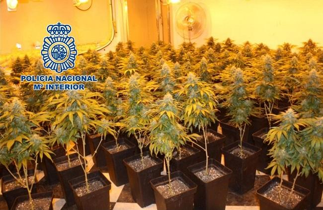Plantas de marihuanas intervenidas.
