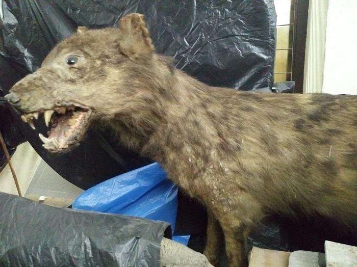 Loba cazada en Sierra Nevada en 1884. Fue disecada y conservada en el Museo del Instituto Padre Suárez.