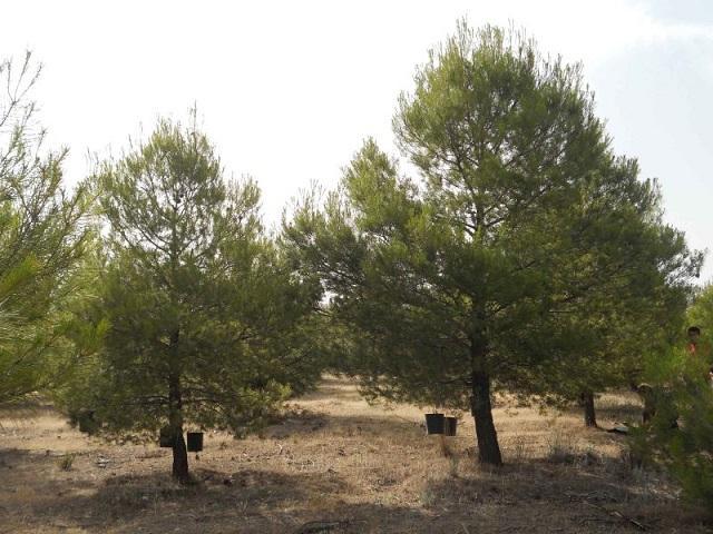 El aclareo consiste en reducir la densidad de árboles para que compitan menos por los recursos.