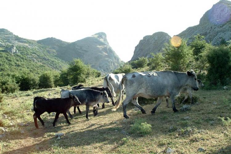 Vacuno ecológico en la Sierra de Huétor.