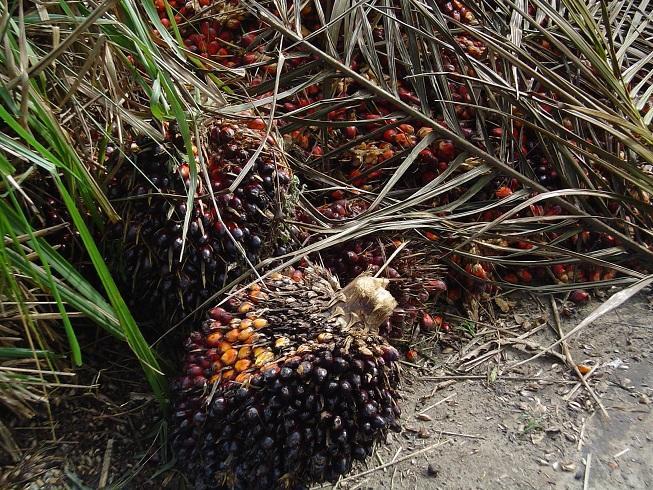 Plantas de donde se obtiene el aceite de palma.