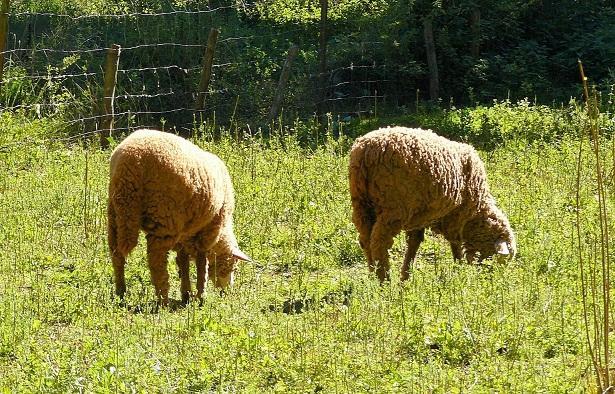Ovejas de ganadería ecológica.