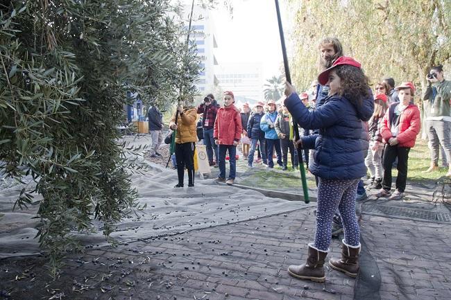Recogida de la aceituna en el Parque de las Ciencias.