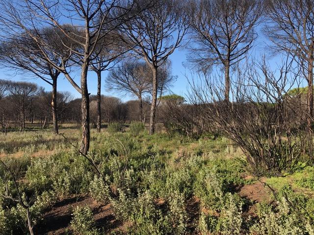 Zona afectada por el incendio de Las Peñuelas en Doñana, donde ha habido una buena regeneración de muchas especies autóctonas sin necesidad de intervención.