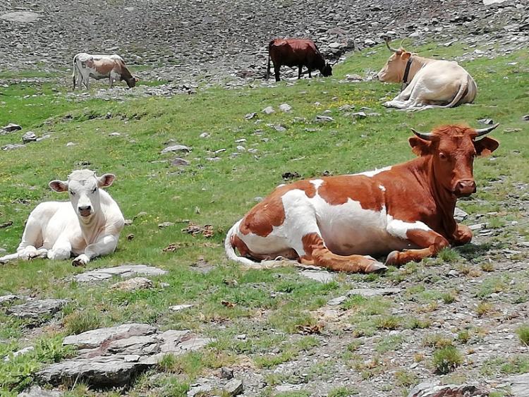 Las vacas, en su casa, que luce espléndida.