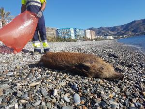 Jabalí encontrado en la playa.