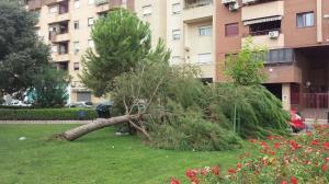 Un árbol derribado por el viento en el Zaidín.