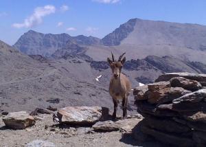 Ejemplar de cabra montés en las altas cumbres de Sierra Nevada.