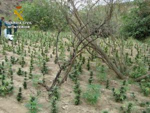 Parte de la plantación descubierta en un barranco de Lújar.