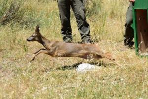 El corzo empieza a correr libre por el parque natural.