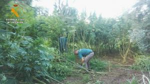 Plantación de marihuana, camuflada entre la vegetación.