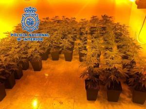Plantas de marihuana halladas en la vivienda.