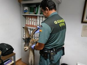 Un agente con la cabeza de la cabra montés intervenida.