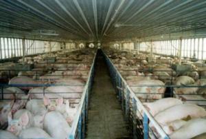 Granja porcina de producción intensiva.