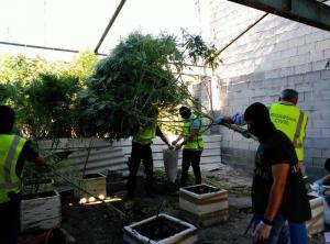 Agentes requisan plantas en uno de los domicilios.