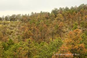 No son los colores del otoño, sino pinos que se están muriendo.