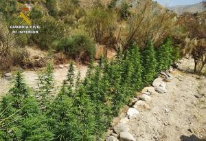 Plantación de marihuana en el barranco del Hornillo de Lújar.