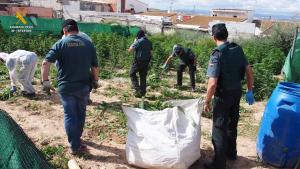 Operación en Atarfe en junio, la mayor de la provincia, con 12.195 plantas requisadas.