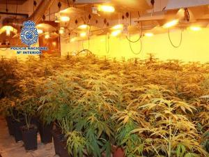 Plantación de marihuana en casa de la detenida.