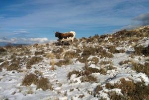Una vaca en la zona del Calar de Güéjar Sierra.