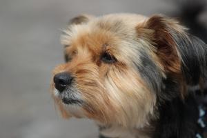 El perro extraviado era un yorkshire terrier como el de la imagen.