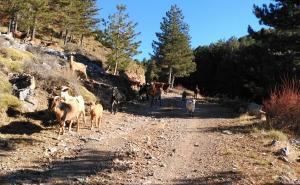 Rebaño de cabras en Sierra Nevada.