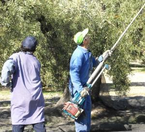 La campaña del olivar aporta mucho empleo en Granada.
