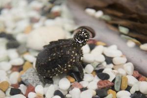 Cría de galápago moteado asiático, en el BioDomo.