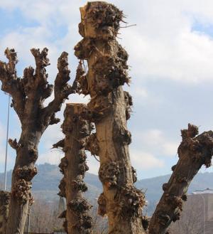 Árboles podados y desmochados en la capital.