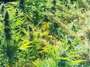 Plantas de marihuana en una imagen de archivo.