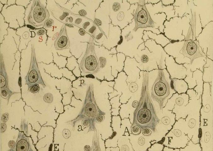Dibujo de la corteza gris del cerebro de Ramón y Cajal.