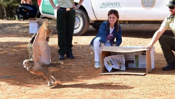 Momento en que el búho sale de la caja y vuela libre, en el Llano de la Perdiz.