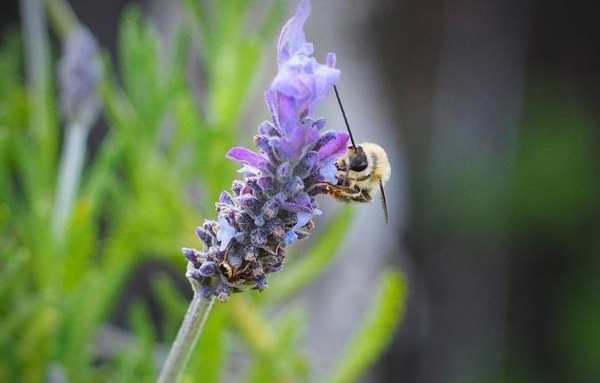 Una abeja libando en una flor de lavanda, una imagen que se puede ver en cualquier balcón de Granada.