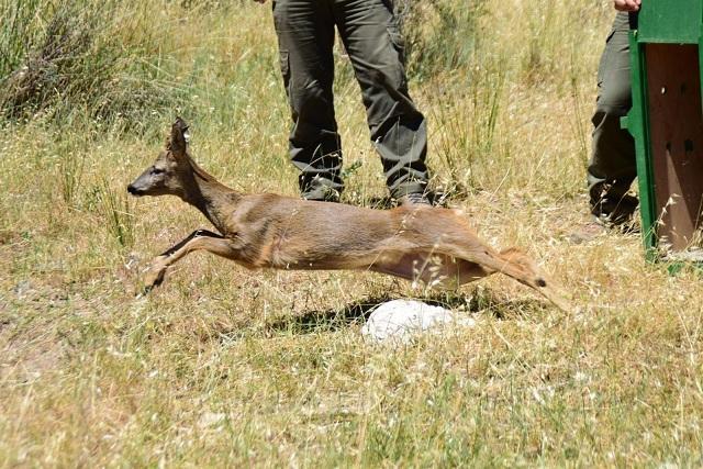 Momento de la liberación de un corzo en la Sierra de Huétor.