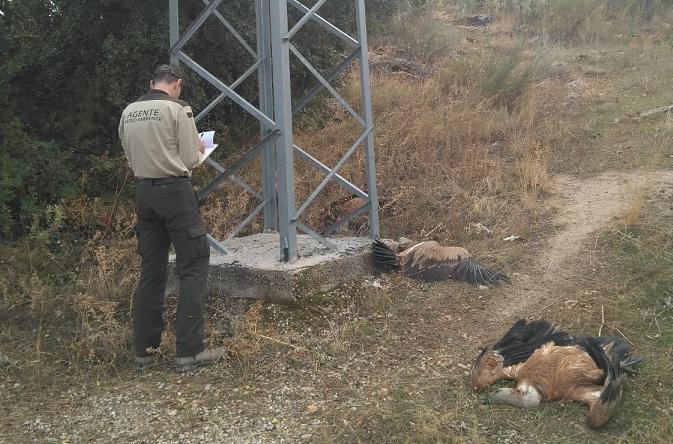 Un agente de Medio Ambiente, junto a varias rapaces muertas bajo un poste eléctrico.