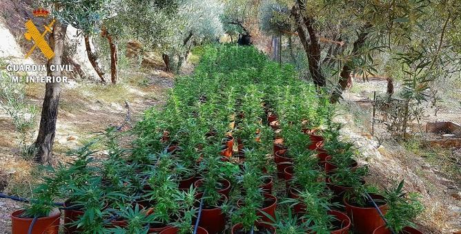 Macetas de marihuana entre olivos en la Alpujarra.