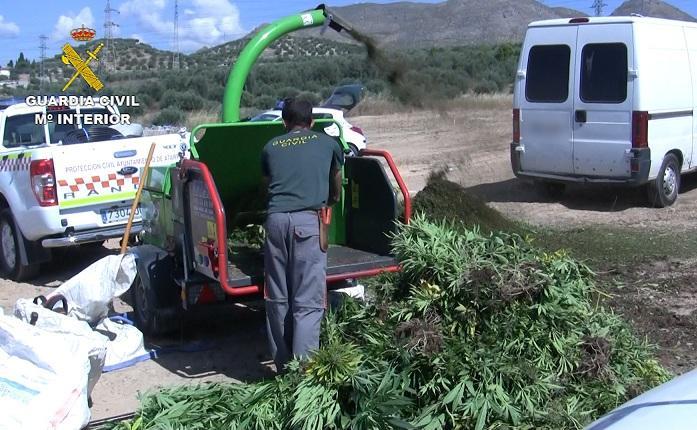 Las plantas de marihuana, trituradas por los agentes.