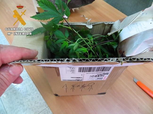 Paquete postal con la marihuana.