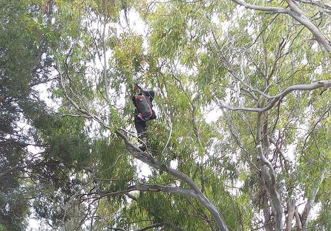 Parapentistas colgado de un eucalipto.