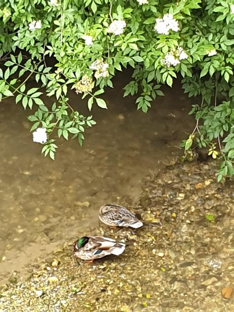 Imagen de los dos patos tomada esta mañana en el Puente Cabrera.