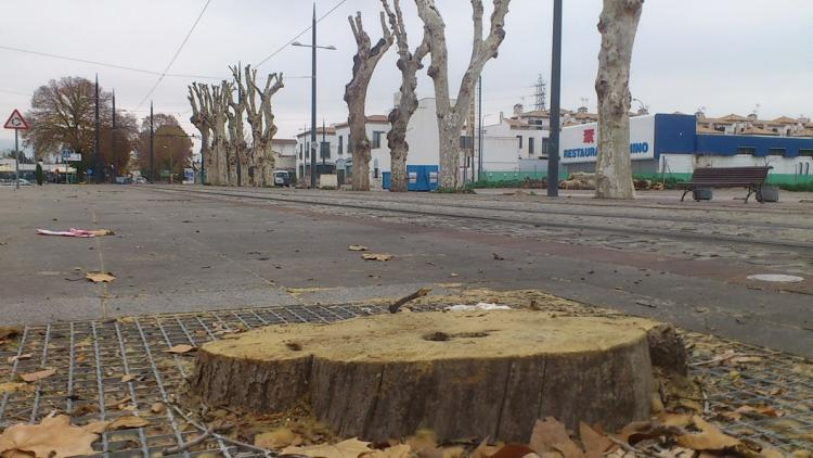 Uno de los árboles talados. Al fondo, hilera de plátanos tras la poda y a la derecha aparecen apilados los troncos cortados.