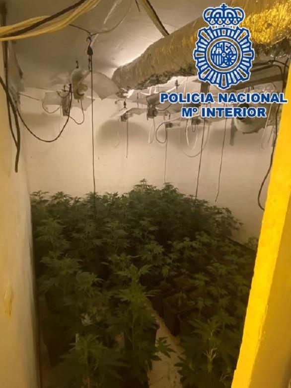 Plantación de marihuana en los bajos del chiringuito.