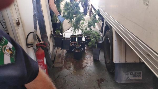 Los agentes decomisaron 123 plantas de marihuana y casi 7 kilos de cogollos.